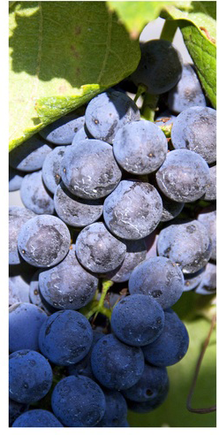 grape-grapes