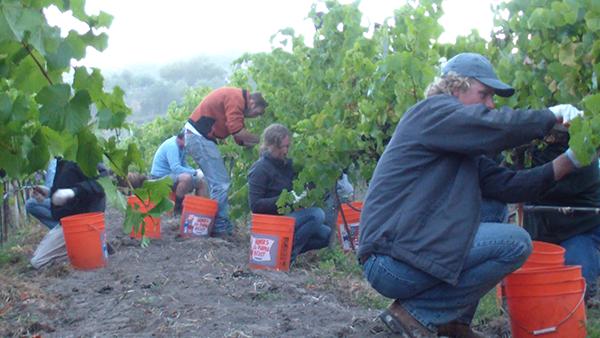 Picking Pinot Noir at Clos Pepe