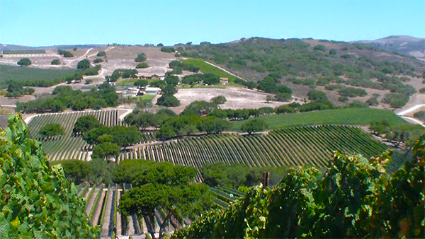 Vineyards of Sta. Rita Hills as viewed from Hilliard Bruce