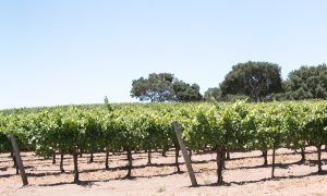 Larner Vineyard Panorama